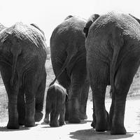 Buy canvas prints of Elephants bums by Jon Pankhurst