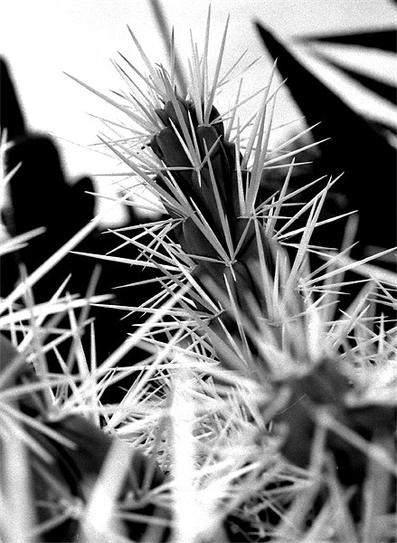 Spikey Cactus Canvas print by Jon Pankhurst