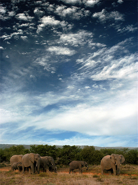 Elephants at Shamwari! Canvas print by Jon Pankhurst