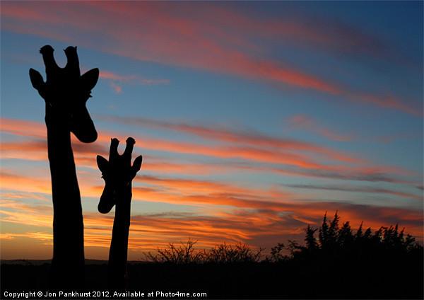 Giraffes and sunset Framed Mounted Print by Jonathan Pankhurst