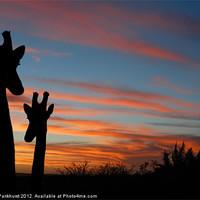 Buy canvas prints of Giraffes and sunset by Jonathan Pankhurst
