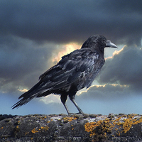 Buy canvas prints of Rook on the Roof. by Annabelle Ward