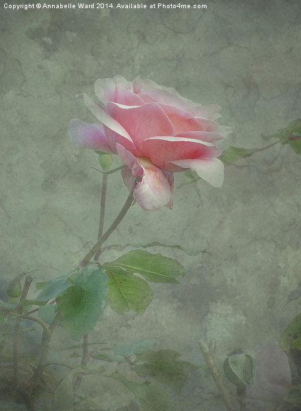 Rose Pink Canvas print by Annabelle Ward