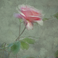 Buy canvas prints of Rose Pink by Annabelle Ward