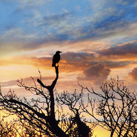 Buy canvas prints of Corvus Sunset by Annabelle Ward