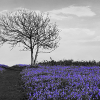 Buy canvas prints of Bluebells On Monochrome by Annabelle Ward