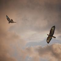 Buy canvas prints of Buzzard In Flight by Annabelle Ward