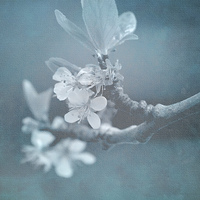 Buy canvas prints of Apple Blossom Blues. by Annabelle Ward