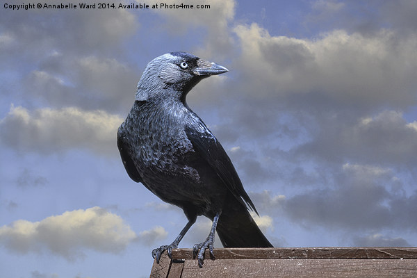 Majestic Jackdaw. Canvas print by Annabelle Ward
