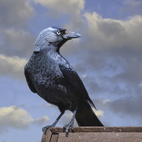 Buy canvas prints of Majestic Jackdaw. by Annabelle Ward