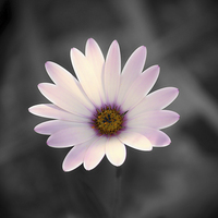 Buy canvas prints of  Daisy Grey. by Annabelle Ward