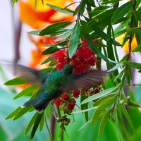 Buy canvas prints of Colourful Hummingbird by yvonne & paul carroll
