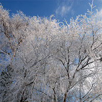 Buy canvas prints of snow covered trees by Lynne Easton