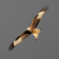 Buy canvas prints of KITE by David Pacey