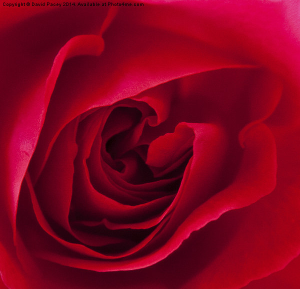 Red Rose  Canvas Print by David Pacey