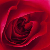 Buy canvas prints of  Red Rose  by David Pacey