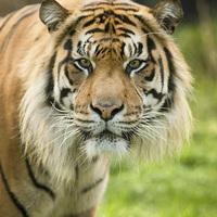 Buy canvas prints of  Sumatran tiger by Selena Chambers
