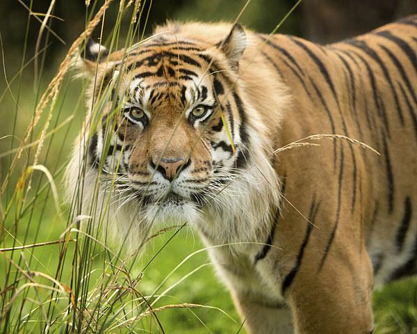 Sumatran tiger  Canvas print by Selena Chambers