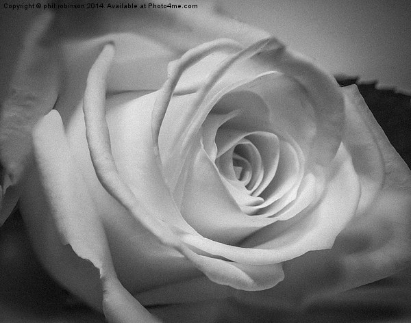 White Rose Canvas print by phil robinson