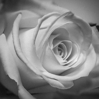 Buy canvas prints of White Rose by phil robinson