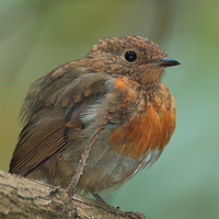 Buy canvas prints of Juvenile Robin by Graeme B