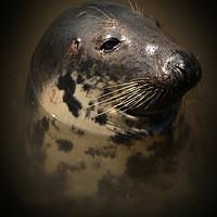 Buy canvas prints of Portrait of a Seal by Graeme B