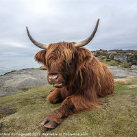 Buy canvas prints of Highland Cow Chilling Out by mhfore Photography