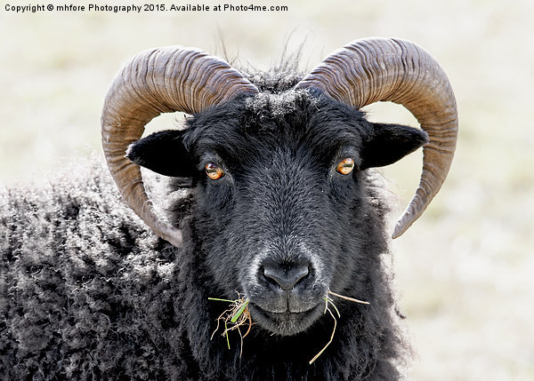 "Black Sheep ""Eye to Eye Contact""  Hebridean Sheep Canvas print by mhfore Photography"
