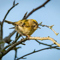 Buy canvas prints of  Goldcrest Female by mhfore Photography