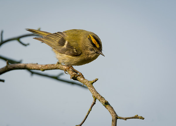 Goldcrest Male Canvas print by mhfore Photography