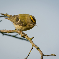 Buy canvas prints of  Goldcrest Male by mhfore Photography