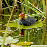 Buy canvas prints of  Coot Chick - New to the World by mhfore Photography