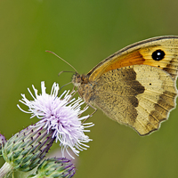 Buy canvas prints of Meadow Brown - Maniola jurtina by mhfore Photography