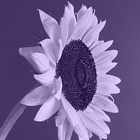 Buy canvas prints of Purple Sunflower by Mark Campion