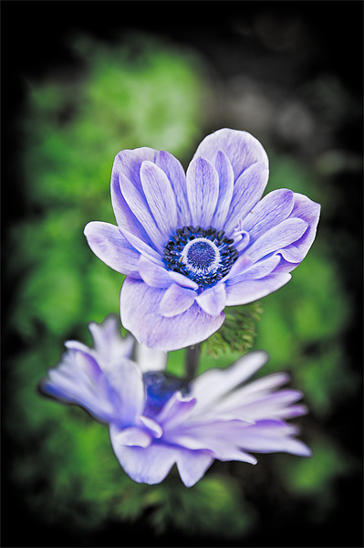 Blue Flower Canvas print by Mark Llewellyn