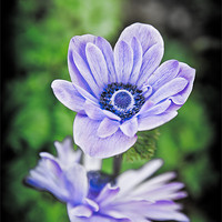 Buy canvas prints of Blue Flower by Mark Llewellyn