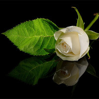 Buy canvas prints of White Rose by nick woodrow