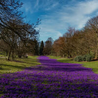 Buy canvas prints of Purple Crocus river by Brian O'Dwyer
