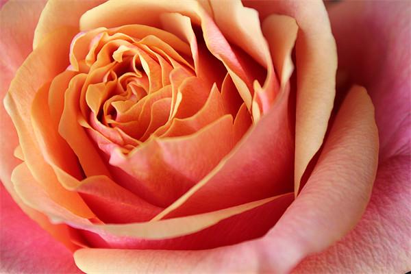 Rose flower Canvas Print by Becs Mason