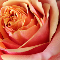 Buy canvas prints of Rose flower by Becs Mason