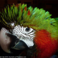 Buy canvas prints of Fluffy Jubilee macaw by Mark Cake