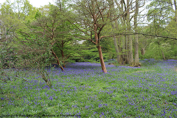 Blue bell woods Canvas print by Mark Cake