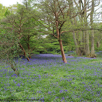 Buy canvas prints of Blue bell woods by Mark Cake