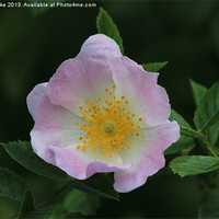 Buy canvas prints of Rosa Canina by Mark Cake