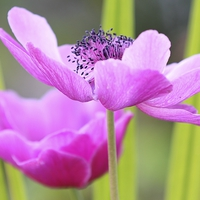 Buy canvas prints of Pink Anemone by Mark Cake