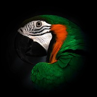 Buy canvas prints of Green and Gold macaw portrait by Mark Cake