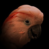 Buy canvas prints of Moluccan cockatoo portrait by Mark Cake