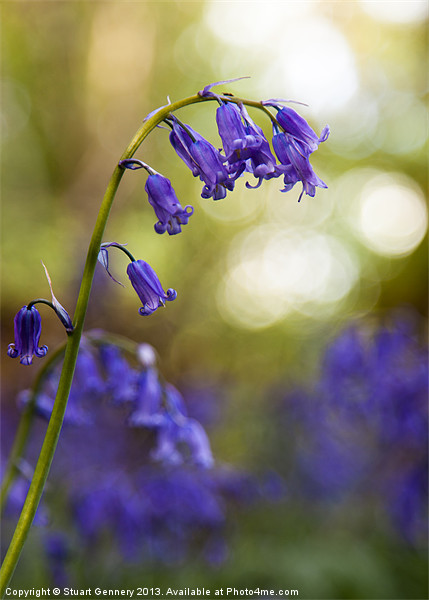 Bluebell Canvas print by Stuart Gennery
