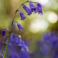 Buy canvas prints of Bluebell by Stuart Gennery