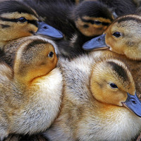Buy canvas prints of Cuddling Ducklings by Rachel & Martin Pics